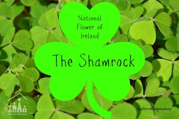 National flower of Ireland the Shamrock