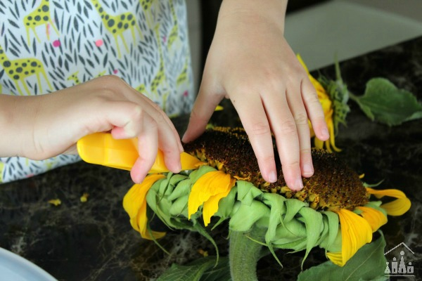 Using fine motor skills tweezers to remove sunflower seeds